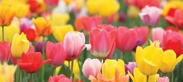 Buy Tulips from Van Meuwen